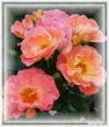 pinkflower_enhanced